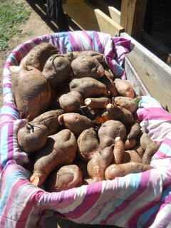 Sweet Potatoes in Wheel Barrow