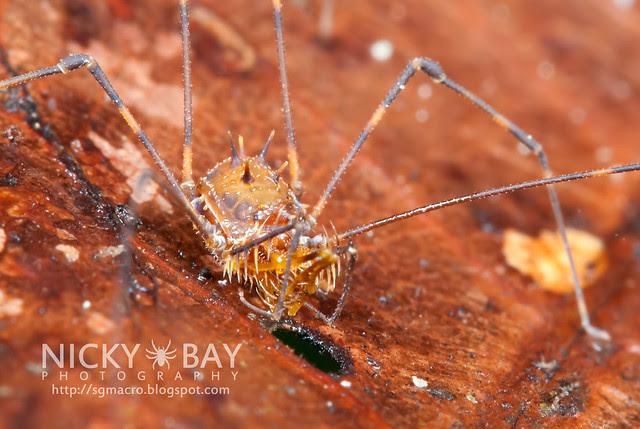 Harvestman (Opiliones) - DSC_1410