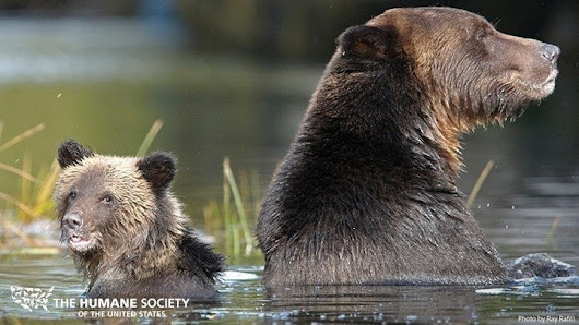 Protect Grizzly Bears from Trophy Hunting