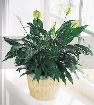 Peace Lily Pictures, Images and Photos