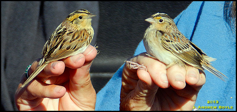 LeConte's Sparrow and Grasshopper Sparrow
