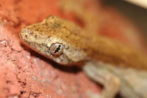 Moths eye view of gecko