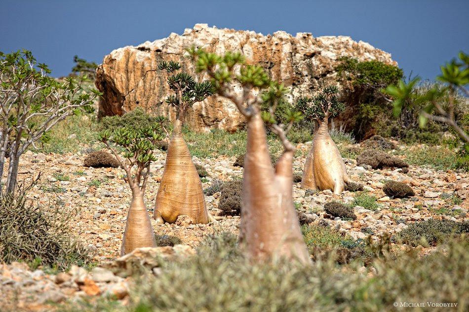 Остров Сокотра и его удивительные бутылочные деревья