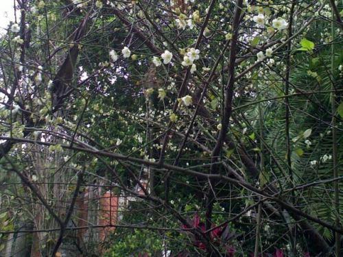 Taipei: The plum blossoms in National Taiwan University Hospital (photo: Jan. 4. 2013)台北:蘇州で大きく稼いでいる台湾人の知人が帰国、台湾大学付属病院へ検査にやってきました。半年振りでしょうか、お顔を拝顔、長々と雑談。帰りに建物をでると入り口脇に白梅が。今日の台北はピリッと寒い。小ぶりの白い花もピリッと花開いています。千葉勝間部落の梅を思い浮かべてしまいました。