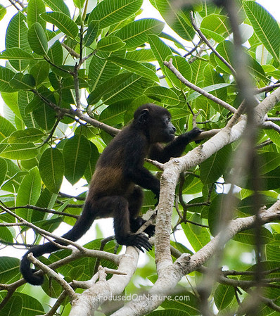 Juvenile Mantled Howler Monkey