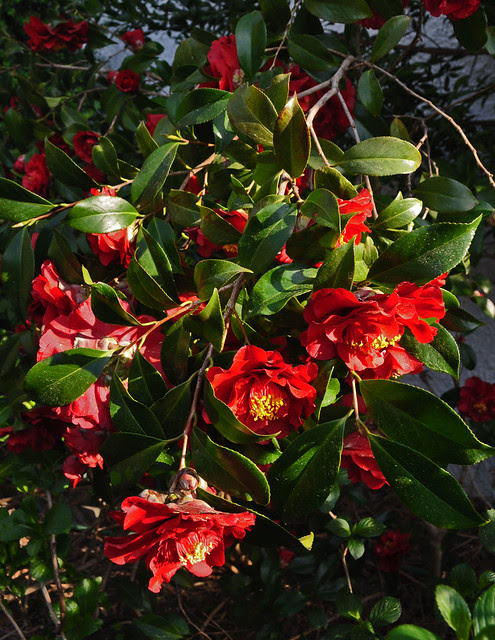 Camellia japonica 'Cherries Jubiliee'