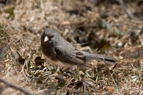 Dark-eyed Junco (3 of 3).jpg