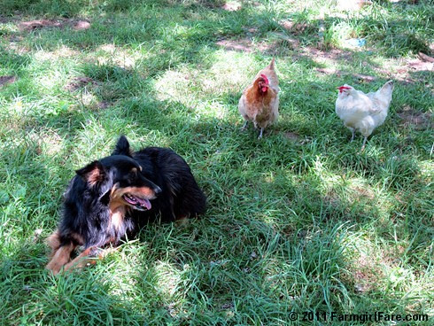 Lucky Buddy Bear on chicken alert - not. 3 FarmgirlFare.com