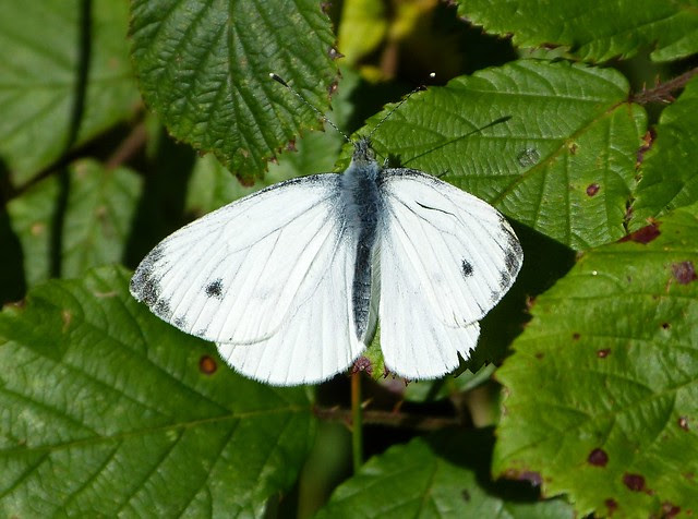 27618 - Green-veined White