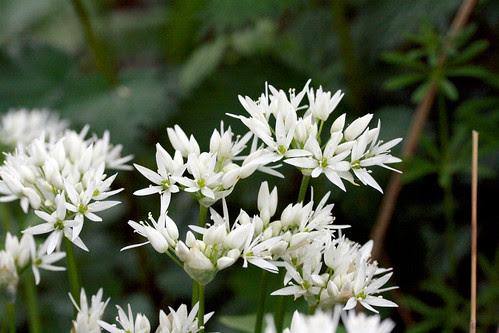 Wild garlic