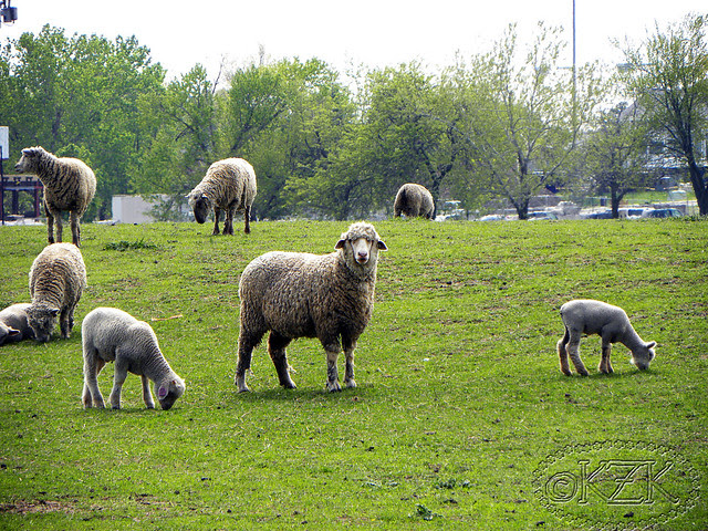 DSCN3432 Sheep & lambs