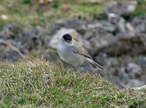 12209 - Male Blackcap at Rhossili