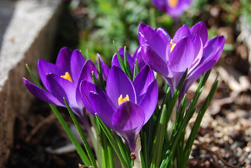 Triplet crocus by antiquerain