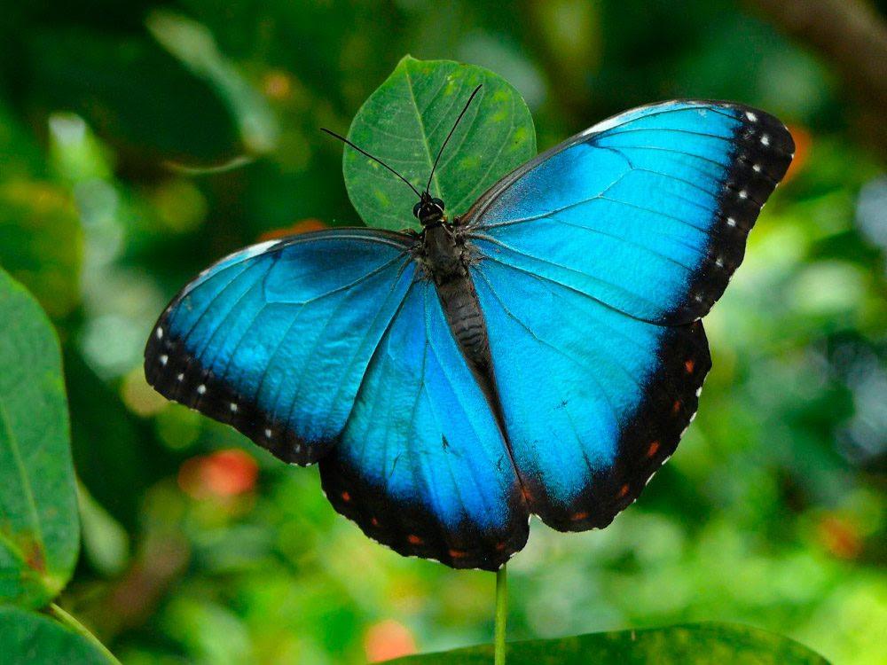 Mariposas Azules Imágenes Y Fotos