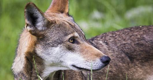 Analysis: Public Overwhelmingly Opposes Feds' Plan to Nearly Wipe Out Wild Red Wolves in North Carolina | Animal Welfare Institute