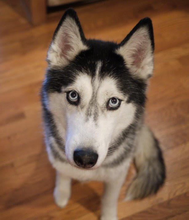 Собака породы сибирский хаски. Фото