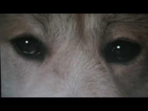 Kisah Anjing Jepun Hachiko