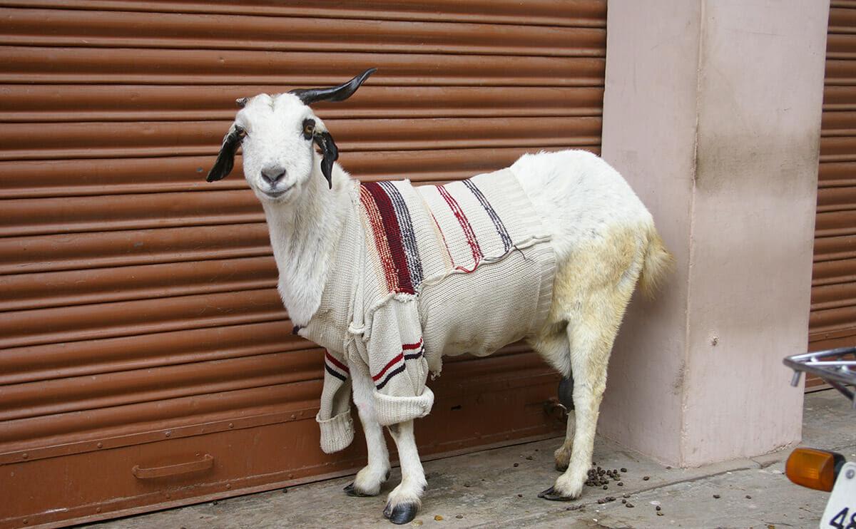 Photo Essay: Goats in Sweaters - Modern Farmer