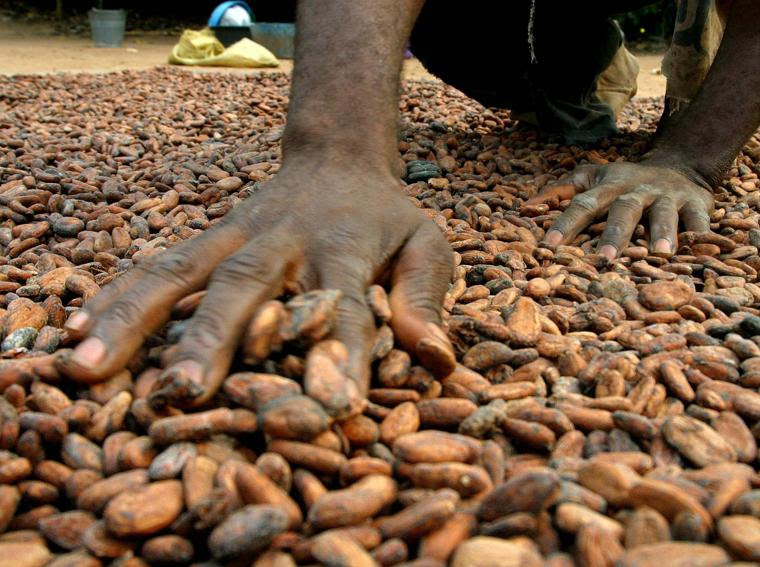 Un produttore di cacao di Yaokoka, a 300 chilometri da Abidjan, sparge i semi di cacao per farli asciugare (foto Reuters)