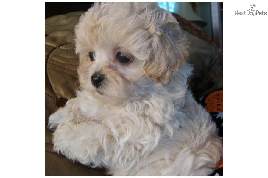 Meet Abby a cute Malti Poo - Maltipoo puppy for sale for $995. Luxurious Coated Beautiful Color