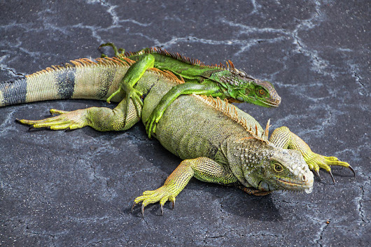 Key West Iguana Mother And Child by Bob Slitzan