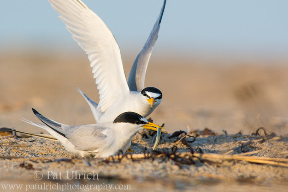 Photograph of a pair of least terns on their nest sharing a fish