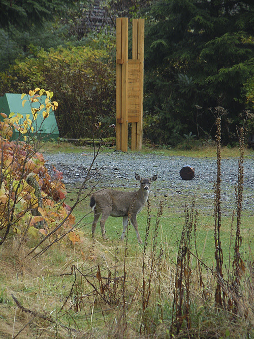 fawn without spots, Kasaan, Alaska