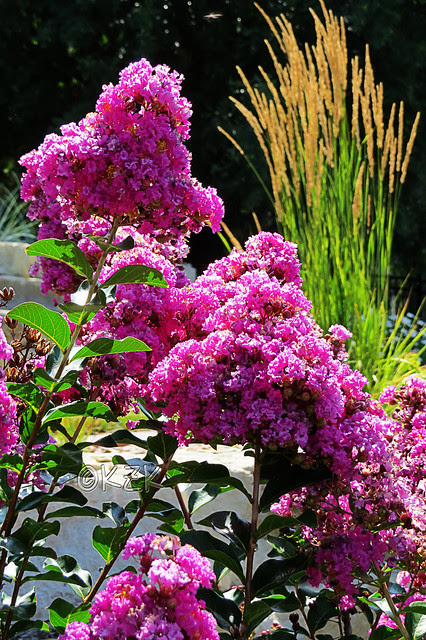 IMG_5829CrapeMyrtle