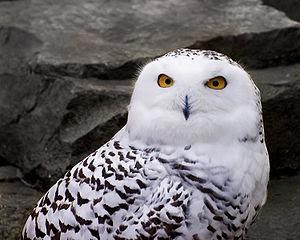 A Snowy Owl