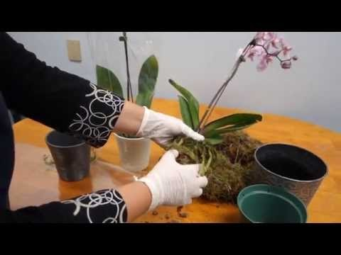 ORCHID CARE TRICK: HOW TO SAVE YOUR POTTED ORCHID FROM DYING