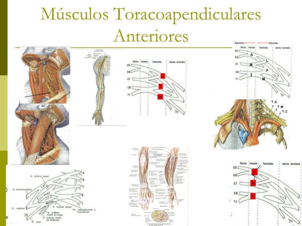 Músculos dos membros superiores e plexo