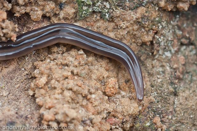 IMG_9697 copy Nemertean ribbon worm