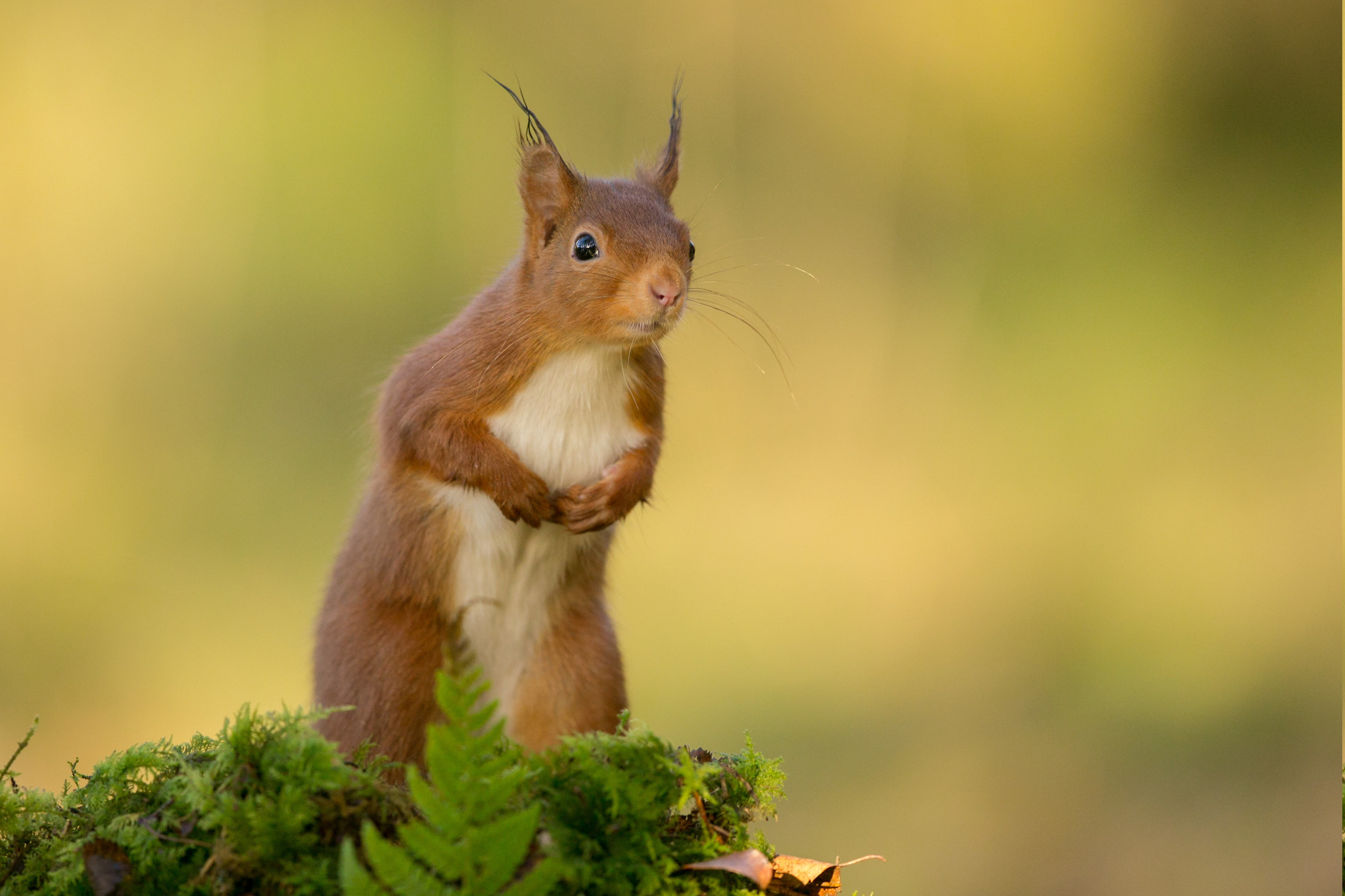 nature, Animals, Squirrel Wallpapers HD / Desktop and ...