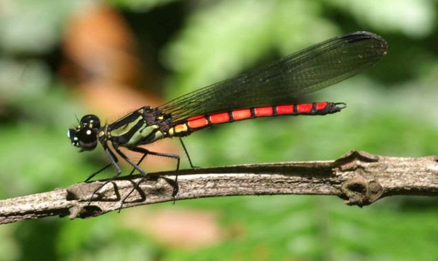 Attention seeking: Researchers have discovered that dragonflies like this Giant Jewel brain's process attention on the same way as human and primate brains