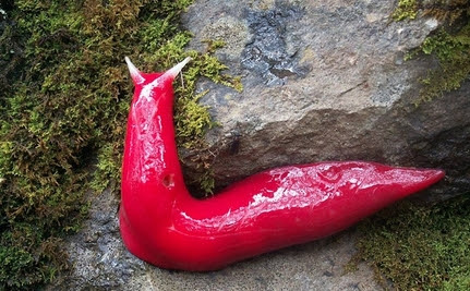 Giant, Fluorescent Pink Slugs Found Living Atop a Mountain in Australia