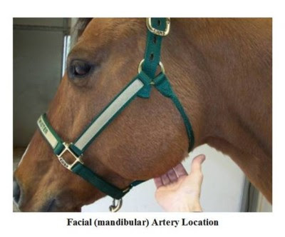 Detecting the Equine Pulse; Learn to How to Find the Horse Digital Pulse