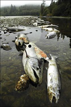 contaminacion_de_los_rios_mortandad_de_peces_por_contaminacion