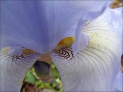 Iris, close up