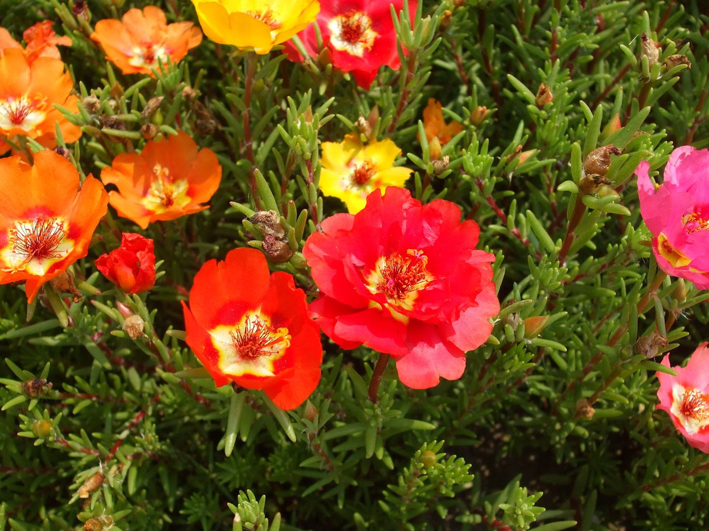 Portulaca by Angie Ouellette-Tower photo DSCF0912_zps02a53191.jpg