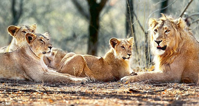 With 11 deaths in the floods, the number of lions in Gujarat has come down to 511