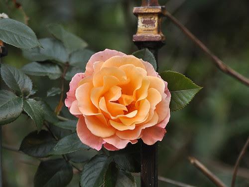 Amsterdam Rose