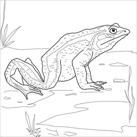 Dibujo De Rana Goliat Para Colorear Dibujos Para Colorear Imprimir
