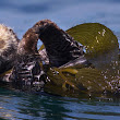 U.S. scraps 'otter-free zone' in Southern California waters