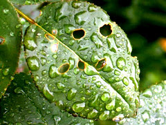 gouttes de pluie sur une feuille