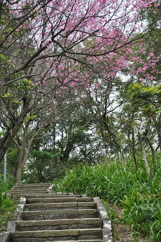 南港山縱走親山步道上的櫻花