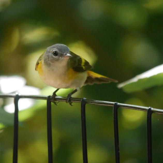 Ed Gaillard: birds &emdash; American Redstart (juvenile male)