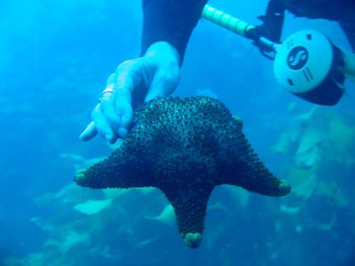 Firebrick Starfish