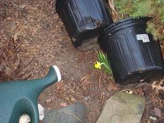 Daffodil struggling to emerge