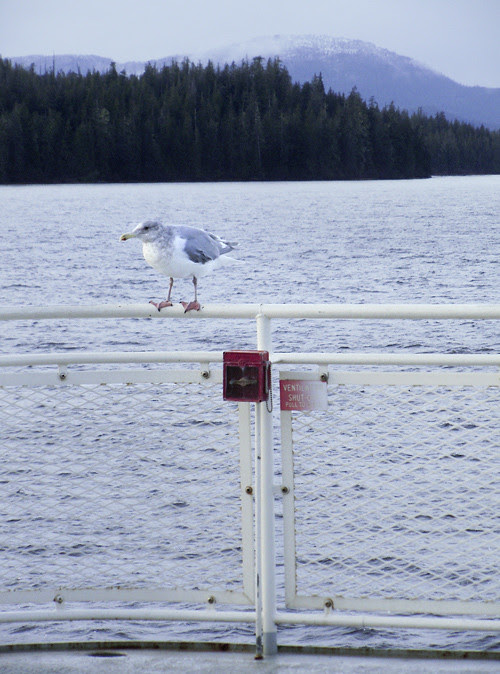 seagull catches a ride on a ferry, Kasaan Bay, Alaska
