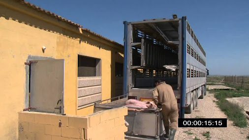 Here we see the way pigs are loaded in Spain, with a complex lift system…